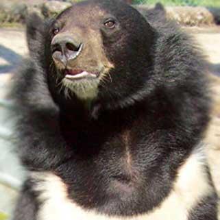 Hymilayan Bear